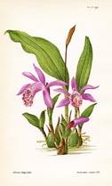 Curtis Botanical Prints By Margaret Stones