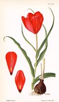 Curtis Botanical Prints by Margaret Stones