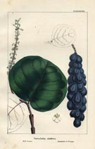 Tree Prints - Grape (No. 10660088)
