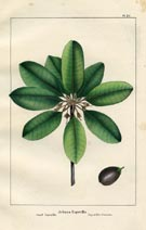 Tree Prints - Sapodilla (No. 10660090)