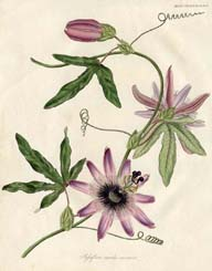 Passionflower Prints