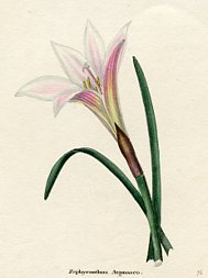 Botanical Prints From The Botanic Garden Benjamin Maund