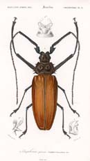 Beetle Prints - Dictionary of Natural History